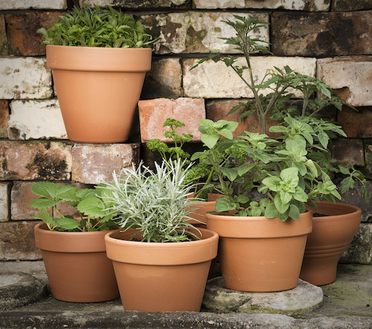 Herbs in terracotta