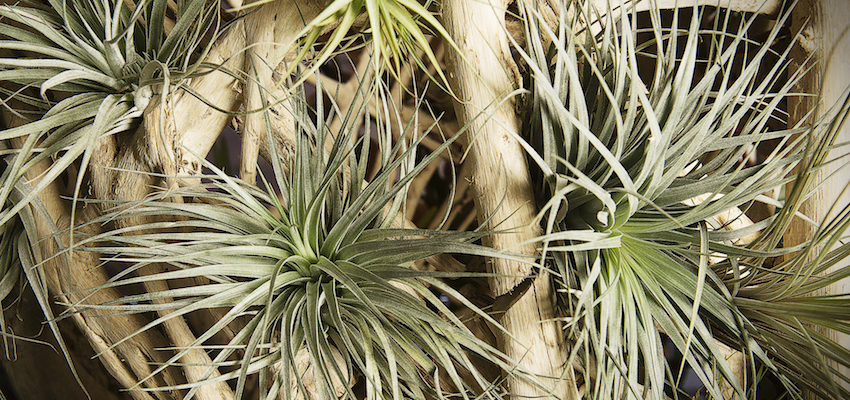 Airplants display